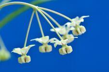 Free Flower Of Asclepias Fruticosa Stock Photos - 27921033