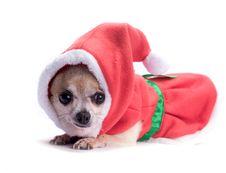 Free Santa S Little Helper Elf Dog Stock Photo - 27923400