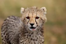 Free Cheetah Cub Portrait, Masai Mara Royalty Free Stock Photo - 27925955