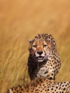 Free Cheetah On The Way To Eat, Masai Mara Royalty Free Stock Images - 27926039