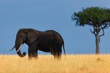 Free Elephant In Savannah, Masai Mara Royalty Free Stock Image - 27926156