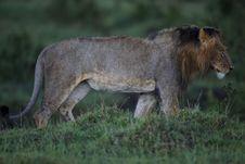 Free Lion In The Rain, Masai Mara Royalty Free Stock Images - 27926179