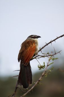 Free White-browed Coucal, Serengeti Stock Image - 27926871