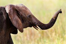 Elephant Portrait, Masai Mara Stock Photo