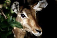 Free Impala Antelope Portrait Stock Photo - 27926930