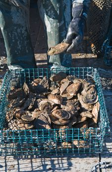 Free Freshly Harvested Oysters Royalty Free Stock Images - 27930049