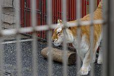 Free Tiger Royalty Free Stock Photos - 27932278