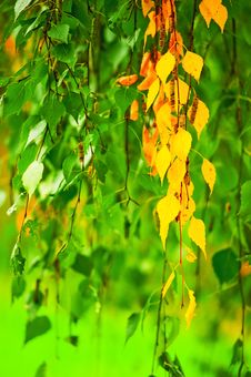 Yellowing Birch Leaves Royalty Free Stock Image