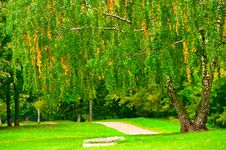 Birch Tree On The Lawn In The Park Royalty Free Stock Photo