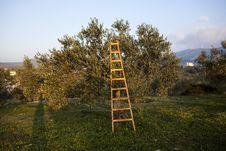 Free Olives Harvesting Royalty Free Stock Photo - 27935125