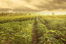 Cassava Field In Thailand Royalty Free Stock Images