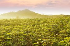 Free Cassava Field In Thailand Stock Images - 27935854