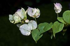 Paper Flower&x28;bougainvillea&x29; Stock Images