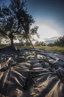 Free Olives Harvesting Stock Image - 27939921