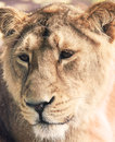 Free Lioness Stock Photo - 27944480