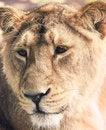 Free Lioness Stock Photo - 27944480