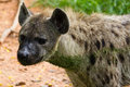 Free Close Up Of A Spotted Hyena Stock Images - 27949054