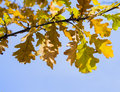 Free Autumnal Branch Of Oak Tree In The Sky Royalty Free Stock Photo - 27949215
