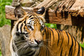 Free Tiger Royalty Free Stock Photos - 27949218
