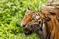 Free Tiger Royalty Free Stock Photo - 27949295