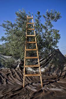 Free Olives Harvesting Royalty Free Stock Image - 27940206