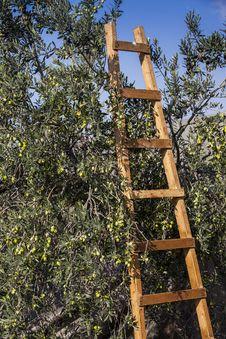 Free Olives Harvesting Stock Photography - 27940562