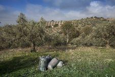 Free Olives Harvesting Stock Photos - 27941143