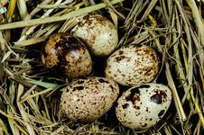 Free Quail Eggs In Nest Stock Image - 27943061