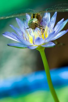 Free Dragonfly On A Lotus Blossom. Stock Images - 27946074