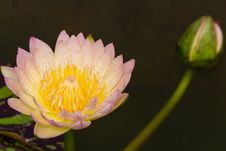 Free Pink Lotus Flowers In Thailand Stock Photos - 27948283