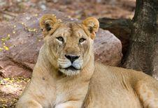 Close-up Portrait Of A Old Lion Stock Photos