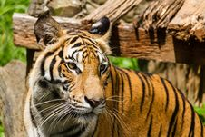 Free Tiger Royalty Free Stock Photos - 27949218