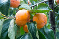 Free Organic Persimmons In Thailand Royalty Free Stock Photography - 27954037