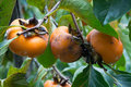 Free Organic Persimmons Royalty Free Stock Photo - 27955045