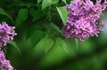 Free Background With Blooming Lilacs Stock Photos - 27959103