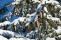 Free Tree Branches With Cones In The Snow Royalty Free Stock Photo - 27959145