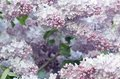 Free Spring Flowers Of Lilac Royalty Free Stock Images - 27959169