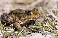 Free Frog Stock Photo - 27950850