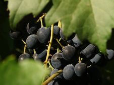 Free Grapes Stock Image - 27951001