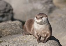 Free Otter Stock Photo - 27951370