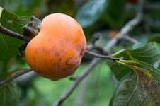Organic Persimmons Stock Images