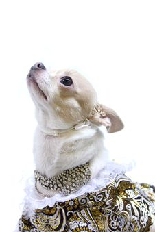 Free Chihuahua Puppy Stock Photography - 27956402