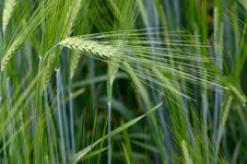 Free Wheat Stock Photo - 27959120