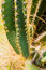 Free Green Cactus Plant Royalty Free Stock Photo - 27956345