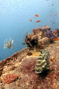 Free Potato Grouper On Thistlegorm Wreck. Stock Image - 27960141