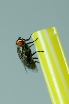 Free A House Fly. Royalty Free Stock Image - 27974456