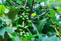 Free Coffee Tree With Green Coffee Beans On The Branch Royalty Free Stock Photo - 27983355