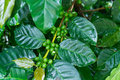 Free Unripe Green Coffee Beans On Coffee Tree. Royalty Free Stock Image - 27983446