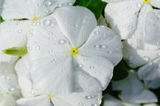 Free White Flower With Morning Dew Royalty Free Stock Images - 27985209