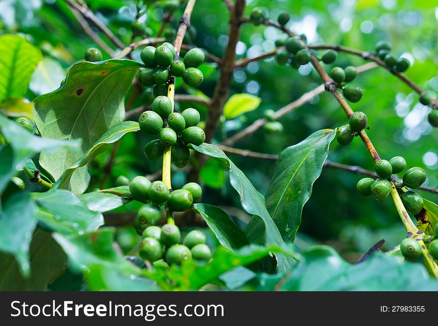 Coffee Tree With Green Coffee Beans On The Branch Free Stock